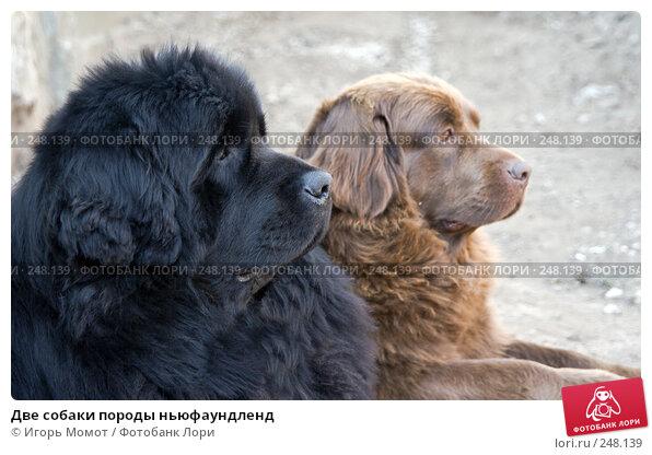Две собаки породы ньюфаундленд, фото № 248139, снято 3 апреля 2008 г. (c) Игорь Момот / Фотобанк Лори