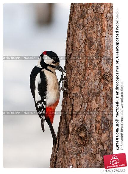 Купить «Дятел большой пестрый, Dendrocopos major, Great-spotted woodpecker», фото № 760367, снято 18 марта 2009 г. (c) Василий Вишневский / Фотобанк Лори