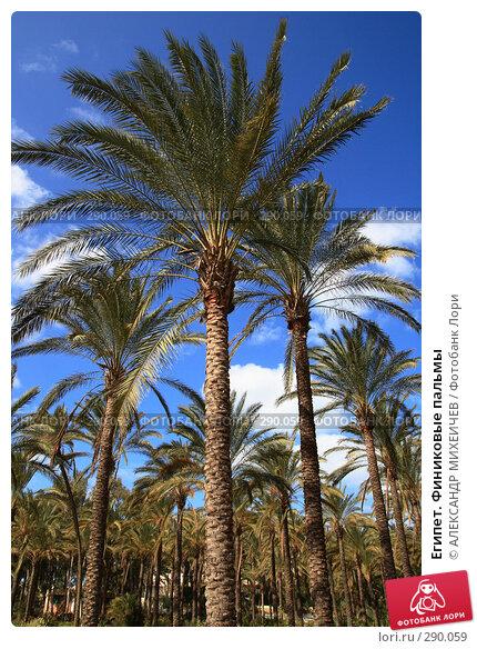 Египет. Финиковые пальмы, фото № 290059, снято 26 февраля 2008 г. (c) АЛЕКСАНДР МИХЕИЧЕВ / Фотобанк Лори