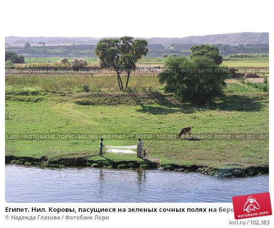 Египет. Нил. Коровы, пасущиеся на зеленых сочных полях на берегу реки, фото № 102383, снято 23 июля 2017 г. (c) Надежда Глазова / Фотобанк Лори