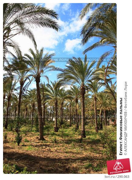 Египет.Финиковые пальмы, фото № 290063, снято 26 февраля 2008 г. (c) АЛЕКСАНДР МИХЕИЧЕВ / Фотобанк Лори