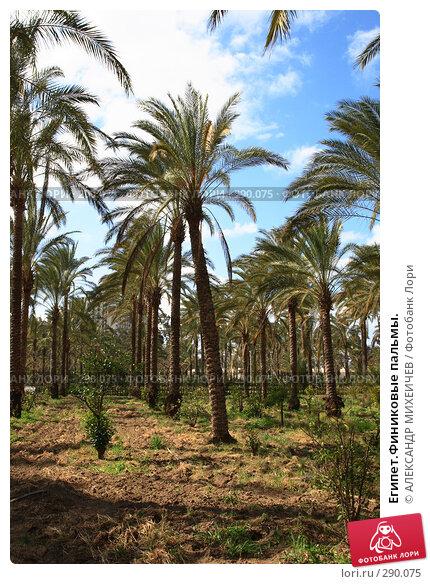 Египет.Финиковые пальмы., фото № 290075, снято 26 февраля 2008 г. (c) АЛЕКСАНДР МИХЕИЧЕВ / Фотобанк Лори