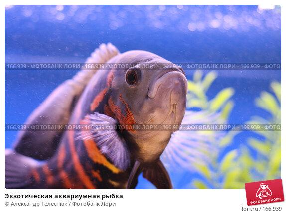 Экзотическая аквариумная рыбка, фото № 166939, снято 7 апреля 2007 г. (c) Александр Телеснюк / Фотобанк Лори