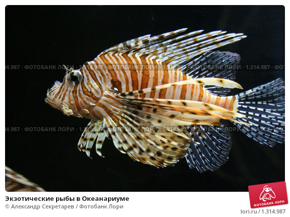 Купить «Экзотические рыбы в Океанариуме», фото № 1314987, снято 26 сентября 2009 г. (c) Александр Секретарев / Фотобанк Лори