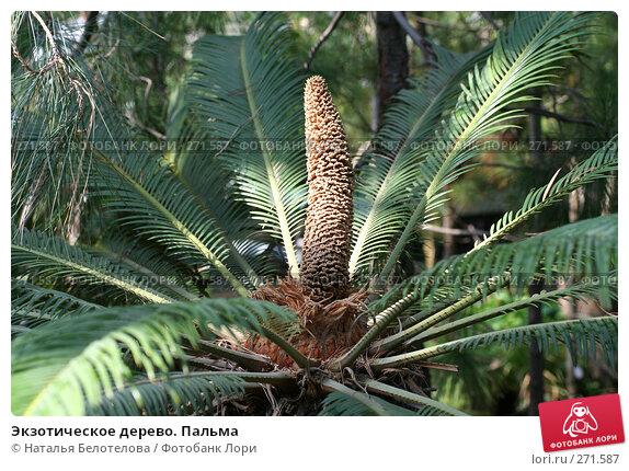 Экзотическое дерево. Пальма, фото № 271587, снято 3 мая 2008 г. (c) Наталья Белотелова / Фотобанк Лори