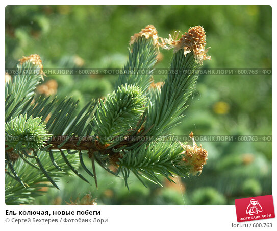 Купить «Ель колючая, новые побеги», фото № 600763, снято 23 мая 2005 г. (c) Сергей Бехтерев / Фотобанк Лори