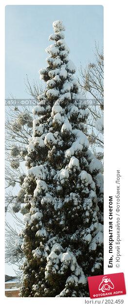 Ель, покрытая снегом, фото № 202459, снято 28 октября 2016 г. (c) Юрий Брыкайло / Фотобанк Лори