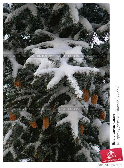 Ель с шишками, фото № 137115, снято 4 декабря 2007 г. (c) Сергей Девяткин / Фотобанк Лори