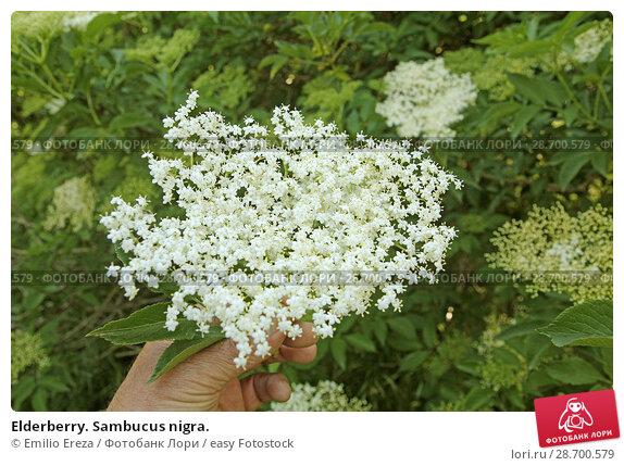 Купить «Elderberry. Sambucus nigra.», фото № 28700579, снято 17 мая 2018 г. (c) easy Fotostock / Фотобанк Лори
