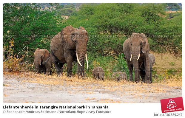 Elefantenherde in Tarangire Nationalpark in Tansania. Стоковое фото, фотограф Zoonar.com/Andreas Edelmann / easy Fotostock / Фотобанк Лори
