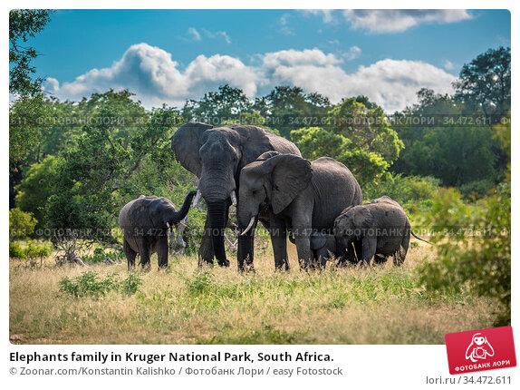 Elephants family in Kruger National Park, South Africa. Стоковое фото, фотограф Zoonar.com/Konstantin Kalishko / easy Fotostock / Фотобанк Лори
