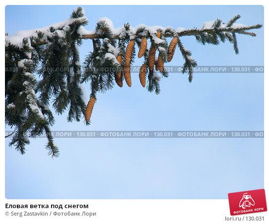 Еловая ветка под снегом, фото № 130031, снято 17 декабря 2004 г. (c) Serg Zastavkin / Фотобанк Лори