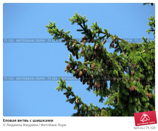 Купить «Еловая ветвь с шишками», фото № 71123, снято 12 августа 2007 г. (c) Людмила Жмурина / Фотобанк Лори