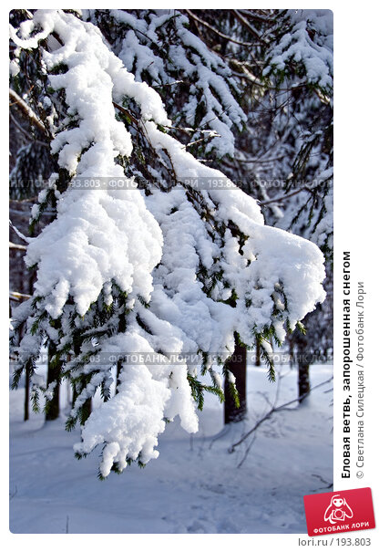 Еловая ветвь, запорошенная снегом, фото № 193803, снято 4 февраля 2008 г. (c) Светлана Силецкая / Фотобанк Лори