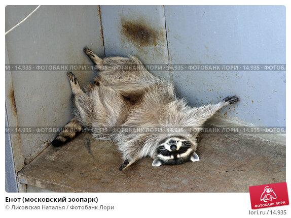 Енот (московский зоопарк), фото № 14935, снято 2 октября 2005 г. (c) Лисовская Наталья / Фотобанк Лори