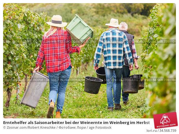 Erntehelfer als Saisonarbeiter bei der Weinernte im Weinberg im Herbst. Стоковое фото, фотограф Zoonar.com/Robert Kneschke / age Fotostock / Фотобанк Лори