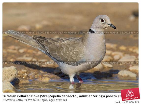 Eurasian Collared Dove (Streptopelia decaocto), adult entering a pool to get a bath, Dhofar, Oman. Стоковое фото, фотограф Saverio Gatto / age Fotostock / Фотобанк Лори