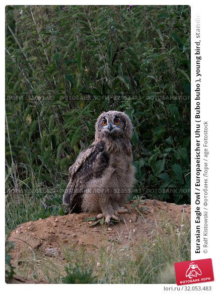 Eurasian Eagle Owl / Europaeischer Uhu ( Bubo bubo ), young bird, standing exposed on a little hill, looks courageous, exploring its habitat, wildife, Europe. Стоковое фото, фотограф Ralf Kistowski / age Fotostock / Фотобанк Лори