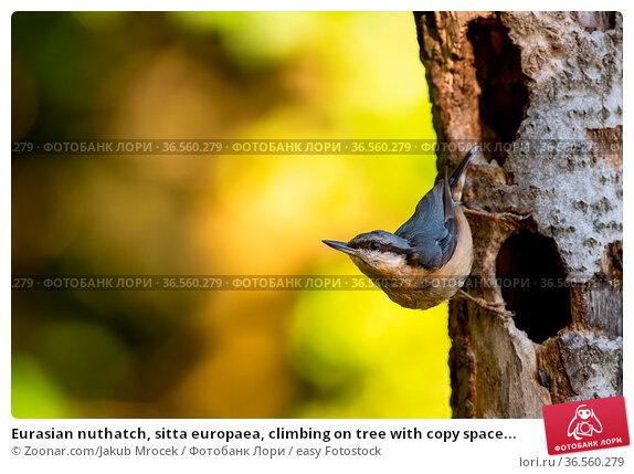 Eurasian nuthatch, sitta europaea, climbing on tree with copy space... Стоковое фото, фотограф Zoonar.com/Jakub Mrocek / easy Fotostock / Фотобанк Лори