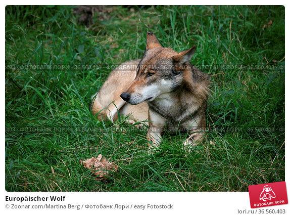Europäischer Wolf. Стоковое фото, фотограф Zoonar.com/Martina Berg / easy Fotostock / Фотобанк Лори