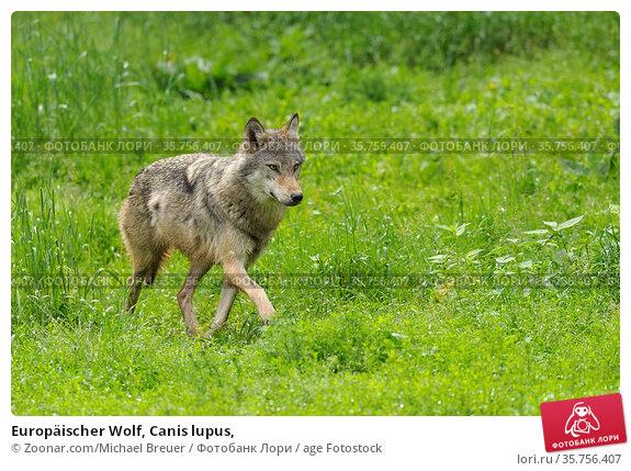 Europäischer Wolf, Canis lupus, Стоковое фото, фотограф Zoonar.com/Michael Breuer / age Fotostock / Фотобанк Лори