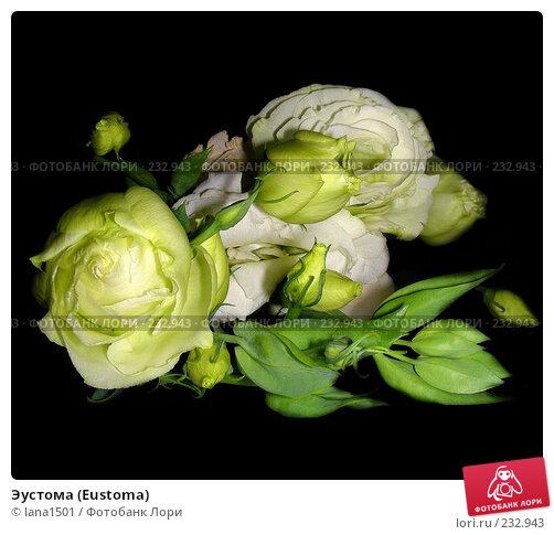 Эустома (Eustoma), эксклюзивное фото № 232943, снято 10 марта 2008 г. (c) lana1501 / Фотобанк Лори