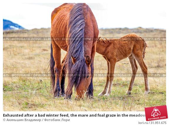 Купить «Exhausted after a bad winter feed, the mare and foal graze in the meadow.», фото № 31951675, снято 24 апреля 2019 г. (c) Акиньшин Владимир / Фотобанк Лори