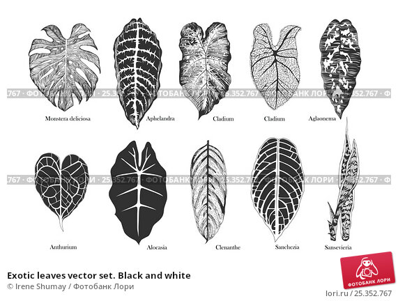 Exotic leaves vector set. Black and white. Стоковая иллюстрация, иллюстратор Irene Shumay / Фотобанк Лори