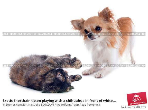 Exotic Shorthair kitten playing with a chihuahua in front of white... Стоковое фото, фотограф Zoonar.com/Emmanuelle BONZAMI / age Fotostock / Фотобанк Лори