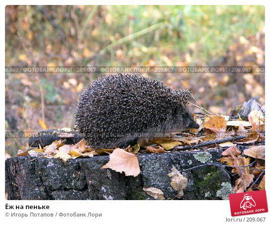 Ёж на пеньке, фото № 209067, снято 26 апреля 2005 г. (c) Игорь Потапов / Фотобанк Лори