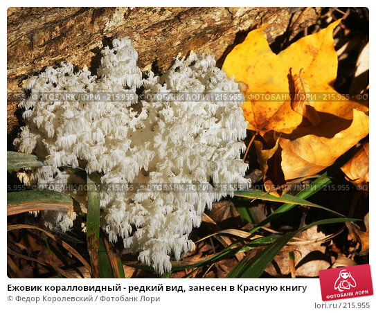 Ежовик коралловидный - редкий вид, занесен в Красную книгу, фото № 215955, снято 4 октября 2003 г. (c) Федор Королевский / Фотобанк Лори