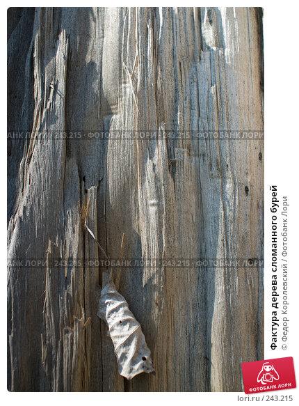 Купить «Фактура дерева сломанного бурей», фото № 243215, снято 4 апреля 2008 г. (c) Федор Королевский / Фотобанк Лори