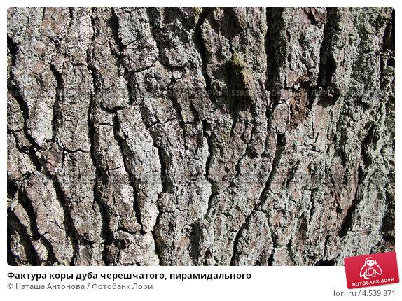 Купить «Фактура коры дуба черешчатого, пирамидального», эксклюзивное фото № 4539871, снято 19 апреля 2013 г. (c) Ната Антонова / Фотобанк Лори