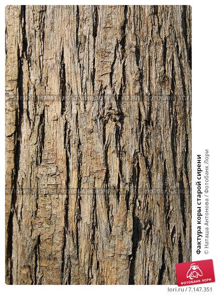 Купить «Фактура коры старой сирени», эксклюзивное фото № 7147351, снято 19 марта 2015 г. (c) Ната Антонова / Фотобанк Лори