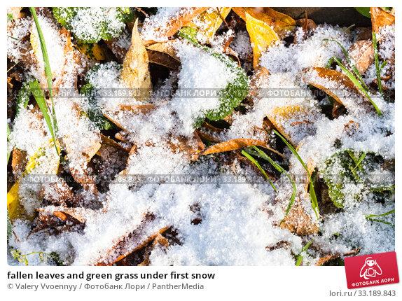 Купить «fallen leaves and green grass under first snow», фото № 33189843, снято 30 мая 2020 г. (c) PantherMedia / Фотобанк Лори