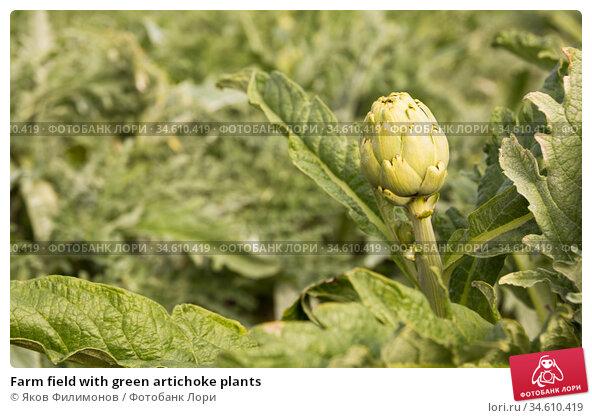 Farm field with green artichoke plants. Стоковое фото, фотограф Яков Филимонов / Фотобанк Лори