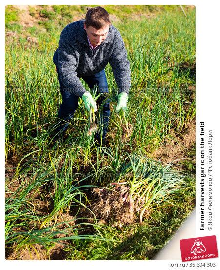 Farmer harvests garlic on the field. Стоковое фото, фотограф Яков Филимонов / Фотобанк Лори