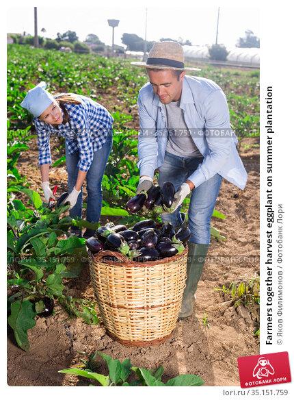 Farmers together harvest eggplant on summer plantation. Стоковое фото, фотограф Яков Филимонов / Фотобанк Лори