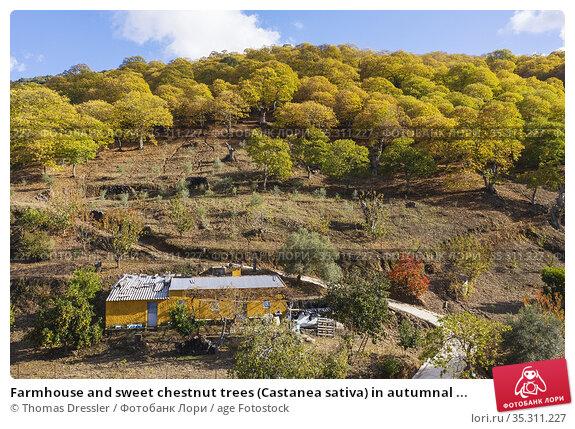 Farmhouse and sweet chestnut trees (Castanea sativa) in autumnal ... Стоковое фото, фотограф Thomas Dressler / age Fotostock / Фотобанк Лори