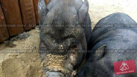 Купить «feeding black pig», видеоролик № 26551951, снято 16 июня 2017 г. (c) Jan Jack Russo Media / Фотобанк Лори