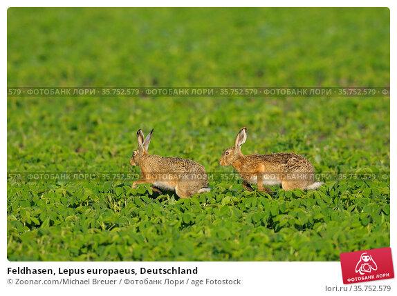 Feldhasen, Lepus europaeus, Deutschland. Стоковое фото, фотограф Zoonar.com/Michael Breuer / age Fotostock / Фотобанк Лори