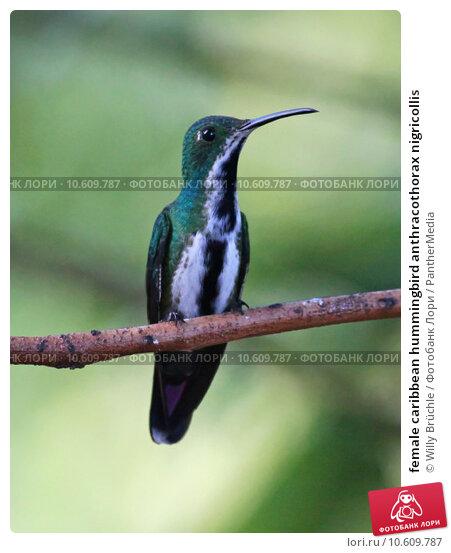 female caribbean hummingbird anthracothorax nigricollis. Стоковое фото, фотограф Willy Brüchle / PantherMedia / Фотобанк Лори