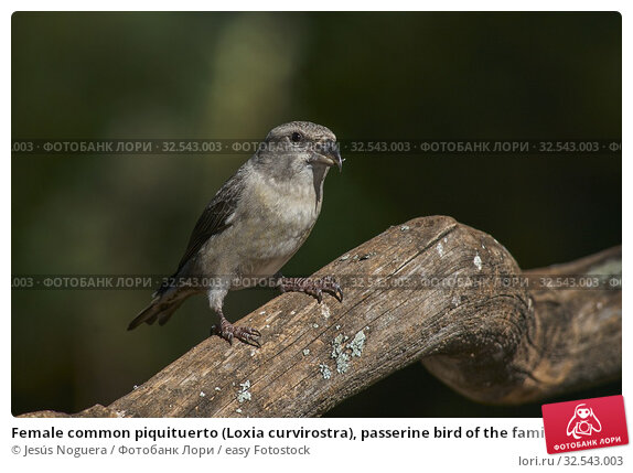 Купить «Female common piquituerto (Loxia curvirostra), passerine bird of the family of fringilides. Malaga, Spain.», фото № 32543003, снято 5 ноября 2019 г. (c) easy Fotostock / Фотобанк Лори