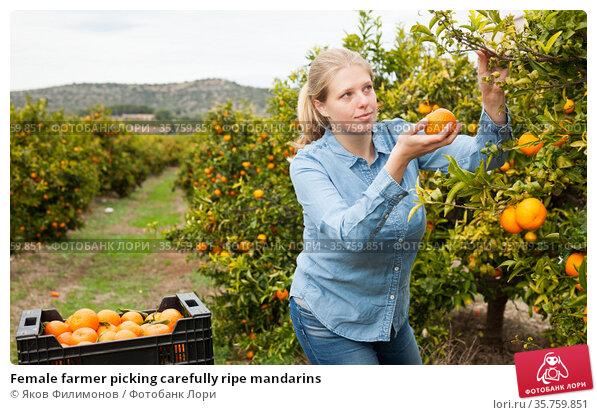 Female farmer picking carefully ripe mandarins. Стоковое фото, фотограф Яков Филимонов / Фотобанк Лори