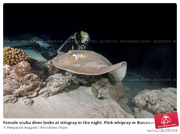 Купить «Female scuba diver looks at stingray in the night. Pink whipray or Banana-tail ray (Himantura fai)», фото № 28370519, снято 2 апреля 2018 г. (c) Некрасов Андрей / Фотобанк Лори