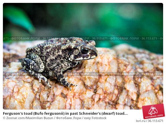 Ferguson's toad (Bufo fergusonii) in past Schneider's (dwarf) toad... Стоковое фото, фотограф Zoonar.com/Maximilian Buzun / easy Fotostock / Фотобанк Лори