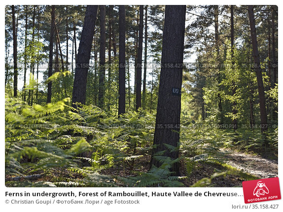 Ferns in undergrowth, Forest of Rambouillet, Haute Vallee de Chevreuse... Стоковое фото, фотограф Christian Goupi / age Fotostock / Фотобанк Лори