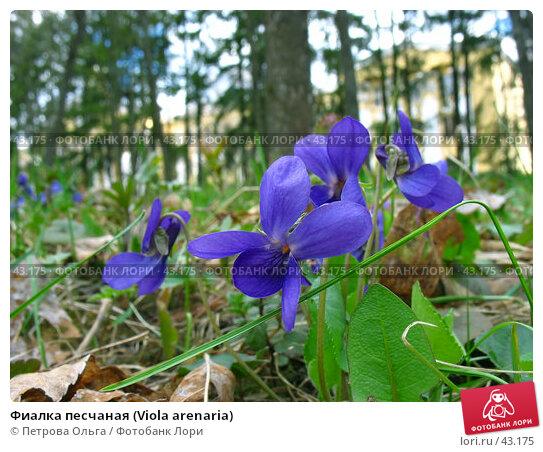 Фиалка песчаная (Viola arenaria), фото № 43175, снято 21 апреля 2007 г. (c) Петрова Ольга / Фотобанк Лори