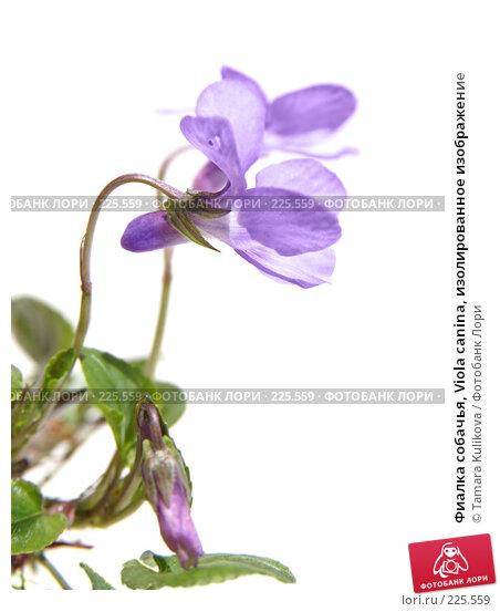 Купить «Фиалка собачья, Viola canina, изолированное изображение», фото № 225559, снято 17 марта 2008 г. (c) Tamara Kulikova / Фотобанк Лори