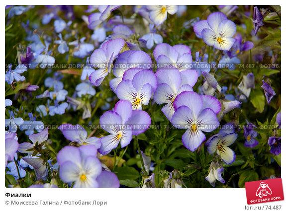 Фиалки, фото № 74487, снято 30 июня 2007 г. (c) Моисеева Галина / Фотобанк Лори